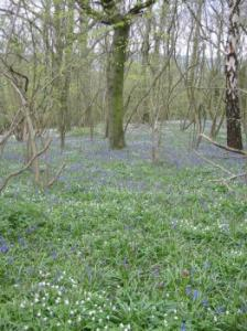 Bluebells in Paget Woods
